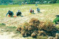 Khôi phục rừng, giảm diện tích hành tỏi ở Lý Sơn