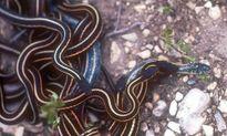 Loài rắn 'bệnh hoạn' thích giả gái và làm tình tập thể