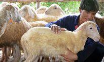 Đàn cừu độc nhất xứ Quảng của cựu sinh viên CNTT