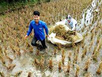 Đoàn viên, thanh niên giúp dân gặt lúa