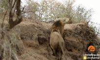 Sư tử đực 'bẩn tưởi' táng vào mặt báo đốm đang ngủ