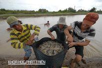 Khoa học và công nghệ vùng Đồng bằng sông Cửu Long: Dấu ấn từ cây, con và mô hình phát triển kinh tế