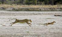 Cặp vợ chồng sư tử bị linh dương Puku con sỉ nhục