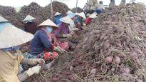 Ký hợp đồng tiêu thụ 150.000 tấn khoai lang mỗi năm