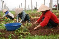 Dồn điền đổi thửa ở Hà Nội: Tậu trâu thì được, mua thừng thì không