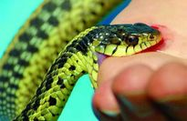 Liên tiếp nhiều trẻ nhập viện vì bị rắn độc cắn
