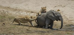 Voi mẹ tuyệt vọng nhìn đàn sư tử ăn thịt con