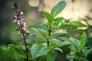Những loại cây có tác dụng đuổi muỗi phòng virus Zika