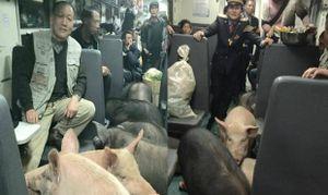 """Dân mạng """"nổi sóng"""" khi lợn đi cùng hành khách trên chuyến tàu Tết"""