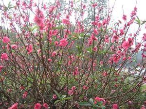 Những loại hoa mang lại tài lộc, may mắn trong dịp Tết