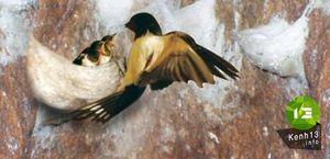 Cuộc đời đau thương của loài chim yến