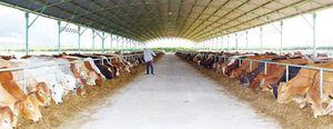 'Bầu' Đức… chăn bò