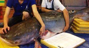 Những lần đại gia Việt dốc tiền mua cá khủng về nhậu