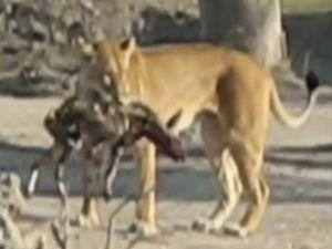 """Clip: Sư tử """"nổi điên"""" giết chết chó rừng"""