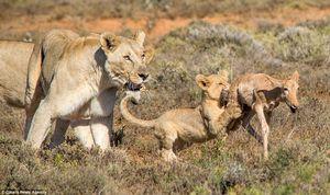 """Sư tử mẹ """"chơi đùa"""" với linh dương để dạy con săn mồi"""