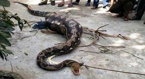 Loại trăn khổng lồ dài tới 6m bị bắt tại Việt Nam
