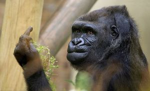 Ảnh siêu thú vị về cuộc sống của khỉ trong vườn thú