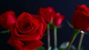 Khám phá thông điệp tình yêu qua màu sắc hoa hồng