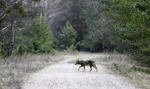 Động vật hồi sinh thần kỳ ở làng Chernobyl sau nổ hạt nhân