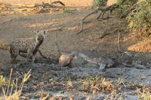Linh cẩu khát máu xé xác trâu rừng hấp hối