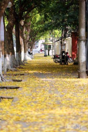 """Ảnh: Những ngày này Hà Nội đẹp lạ mùa sấu """"dệt thảm vàng"""""""