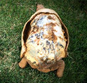 Chú rùa đầu tiên trên thế giới được gắn mai rùa tạo bằng công nghệ in 3D