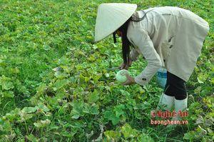 Trồng dưa ở Hoàng Mai cho thu nhập 200 triệu đồng/ha