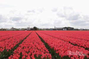 Lạc vào cánh đồng hoa tulip rực rỡ sắc màu ở Hà Lan