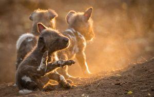 Xem chó hoang châu Phi tưng bừng đón thành viên mới