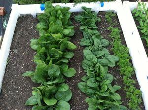 Những cây thuốc quý tốt cho sức khỏe nên trồng trong nhà