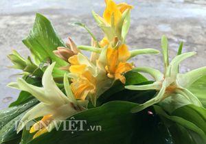 'Nữ hoàng' các loài rau ở rừng Đồng Vân