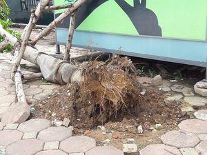 Hà Nội: Công ty cây xanh lên tiếng về việc cây đổ lộ nguyên bầu lưới