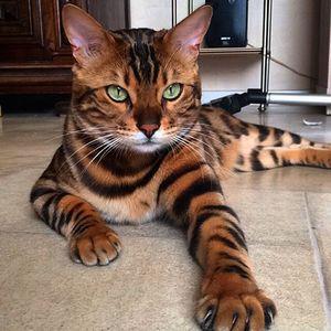 Phát cuồng với chú mèo bengal đẹp tựa thiên thần