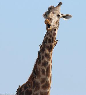 Những khoảnh khắc vô cùng hài hước của các loài động vật hoang dã