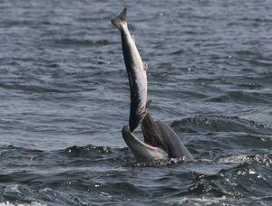 Những cảnh tượng 'cá lớn nuốt cá bé' trong tự nhiên
