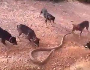 Hổ mang chúa khổng lồ bị đàn chó 'đánh hội đồng'