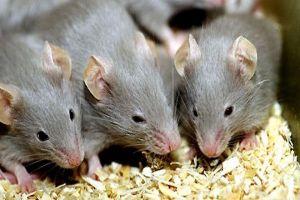 3 cách đuổi sạch lũ chuột ra khỏi nhà