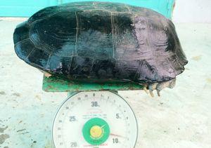 Bắt được rùa 9 kg trong ao tôm ở Bạc Liêu
