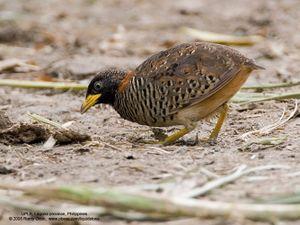 Điều cực thú vị về loài chim cút mà bạn nhai hàng ngày