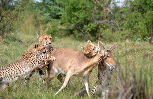 Báo gấm mẹ dạy con kỹ năng săn mồi