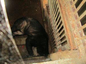 'Giải cứu' cặp vợ chồng gấu ngựa, thả về tự nhiên