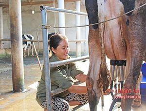 Chiều nhộn nhịp ở xóm nuôi bò sữa
