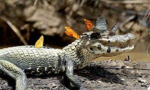 Bộ ảnh cá sấu ngoác miệng cười với đàn bướm đoạt giải cao
