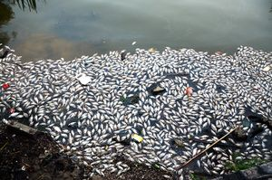 Cá chết bất thường nổi trắng ven Hồ Tây