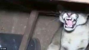 Gia đình tá hỏa khi phát hiện con báo sư tử trốn dưới gầm bàn