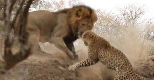 Sư tử rình mò, tấn công báo đang say ngủ
