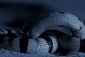 Tử chiến giữa rết cực độc với rắn mũi xẻng và cái kết không ngờ