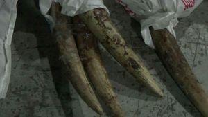 Phát hiện lô ngà voi 'khủng' ngụy trang trong gỗ nhập từ châu Phi