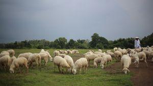 Người Sài Gòn phiêu ở đồng cừu cực đẹp chỉ cách 70 km