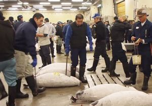Xếp hàng từ tinh mơ xem đấu giá cá ngừ